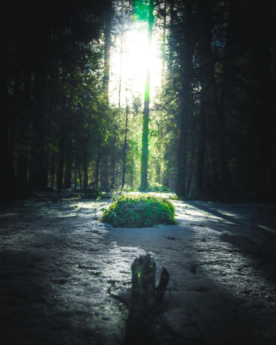 Aurinko valaisee lumisen ja vihreän metsän