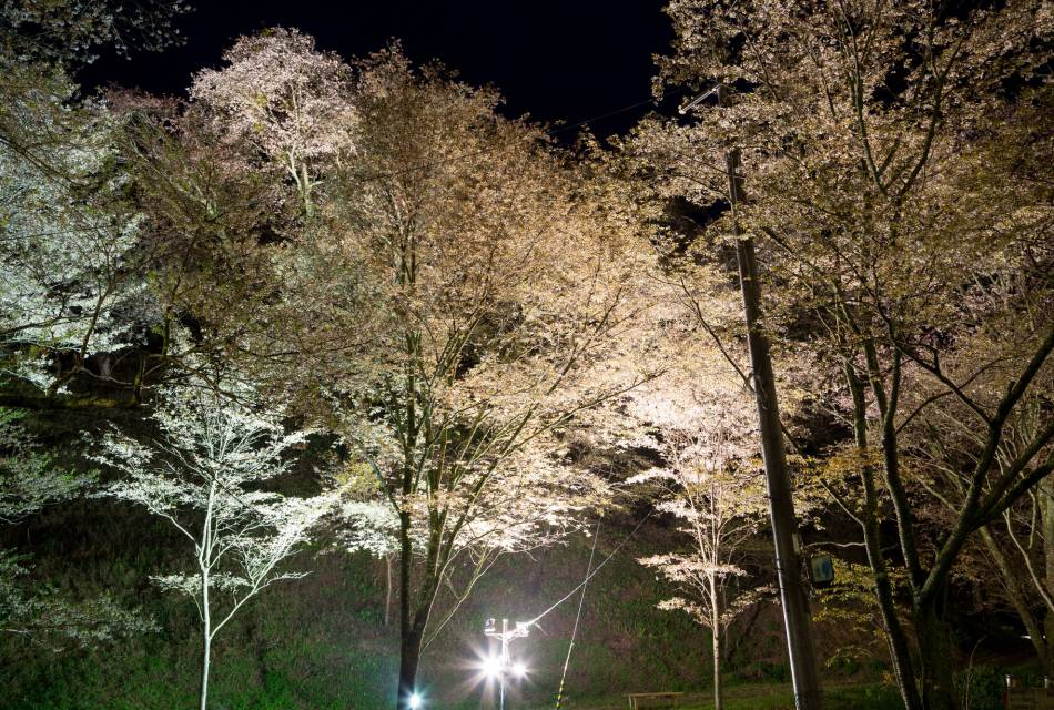 Yoshino Cherry Blossoms by Night 01