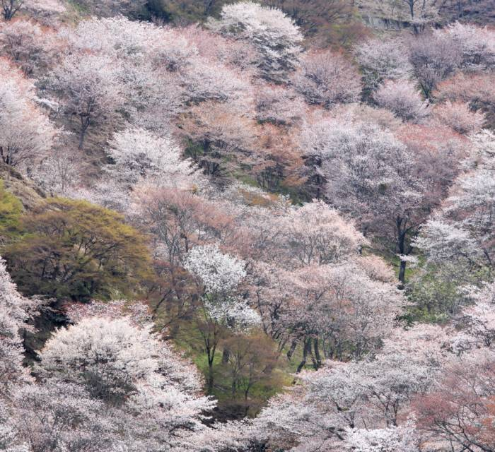 Mt. Yoshino Cherry Blossoms 01
