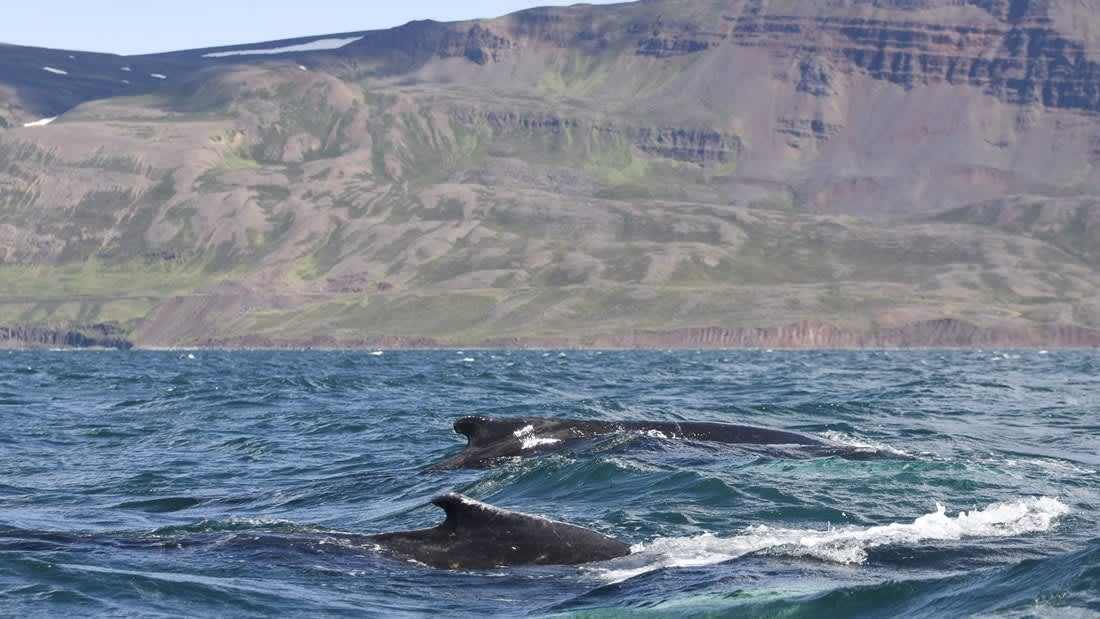 Whale Watching from Akureyri