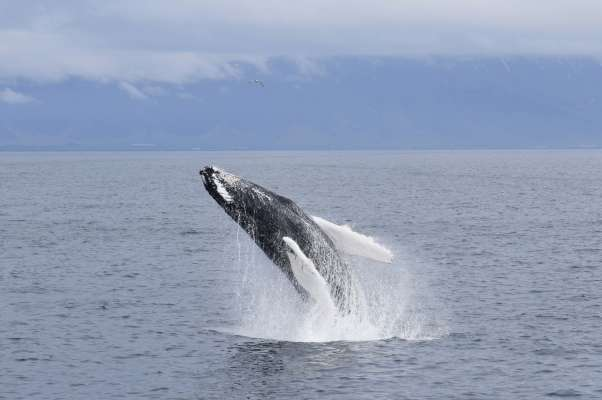 Whale Watching SpecialToursIceland4