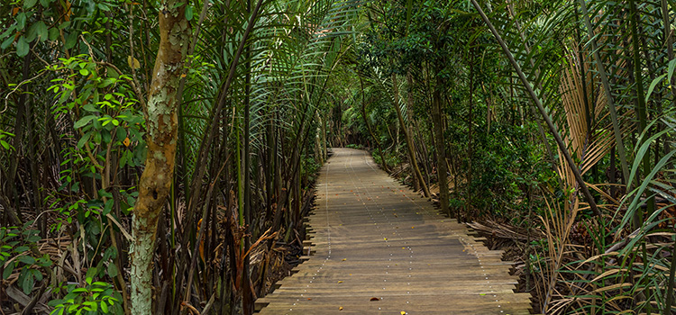 A wooden boardwalk in a natural untouched mangrove forest in Pulau Ubin, Singapore.