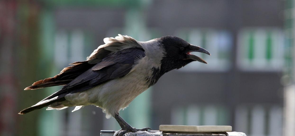 Na Żoliborzu wrony zaatakowały dziecko i psa.