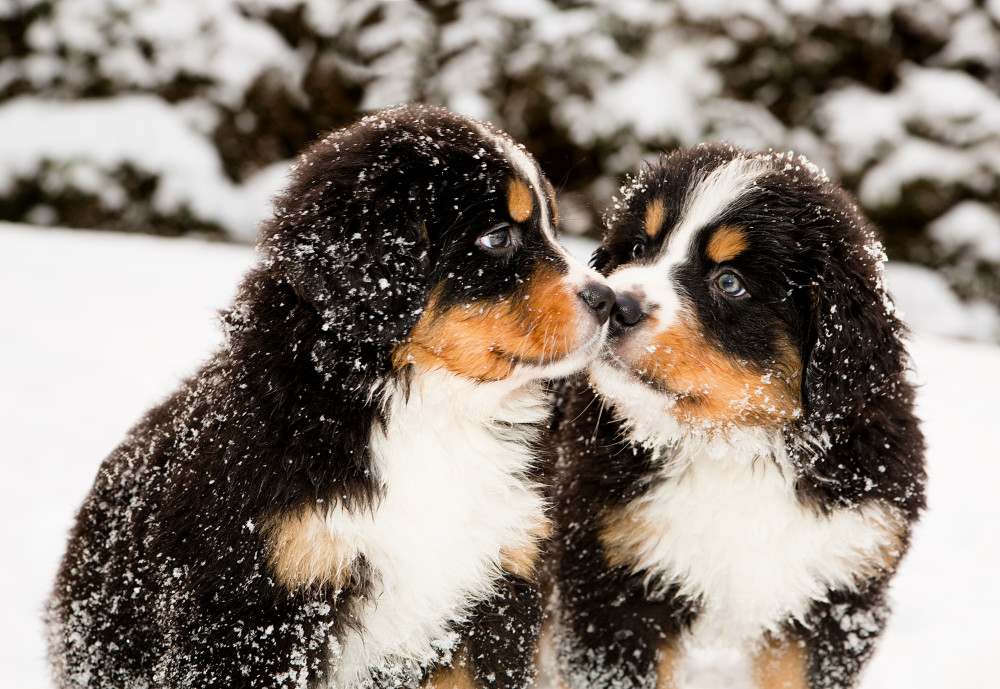 Bernese Mountain Dog puppies - Care, training and more | Pawzy