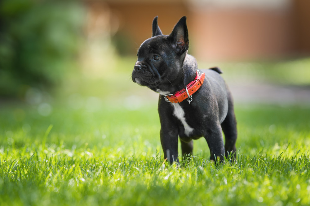 French Bulldogs-2