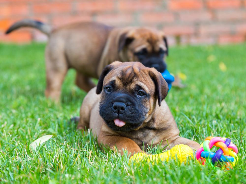 Bullmastiff Puppies fo sale in Tennessee USA