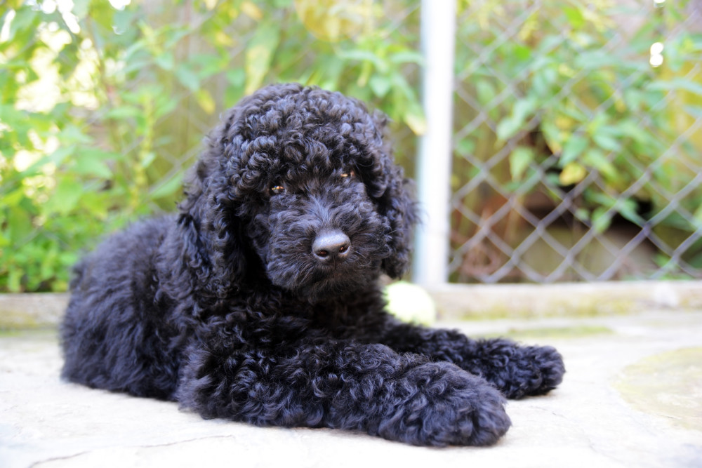 Poodle-Black-Puppy