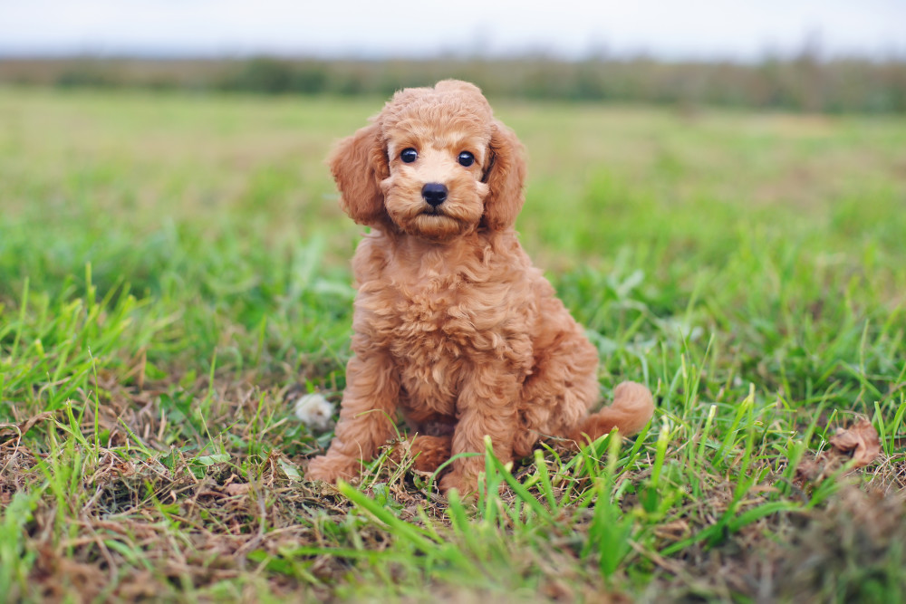 Poodle-Brown-Toy-Puppy