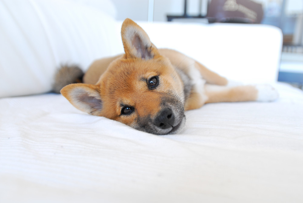 Shiba Inu puppies - Care, training and more | Pawzy