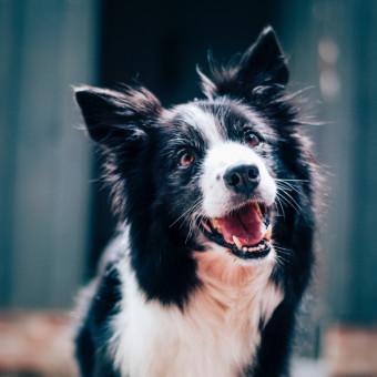 Hund med svart och vit päls