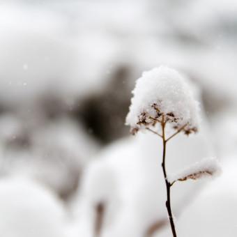 Daxxin - växt täckt av snö