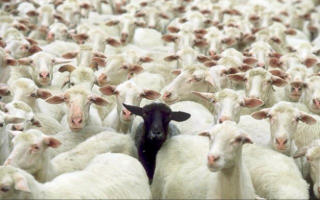 one-black-sheep-among-many-white-sheep