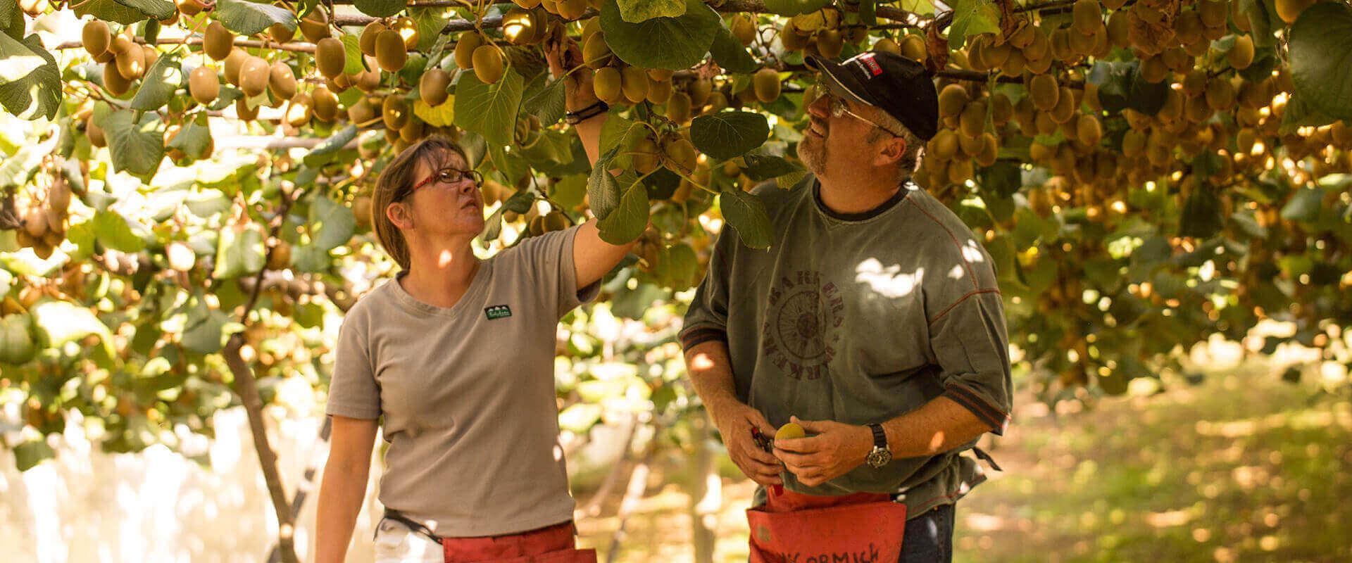 When Is Kiwifruit Season