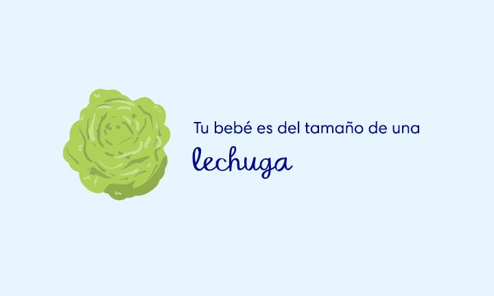 baby size of lettuce week 28