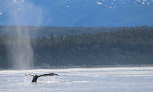 Image for Whale Acoustics Webinar from the Gulf of Alaska