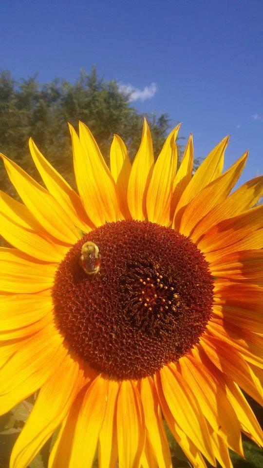 Backyard-Sunflowers Robin-Della-Maggiore