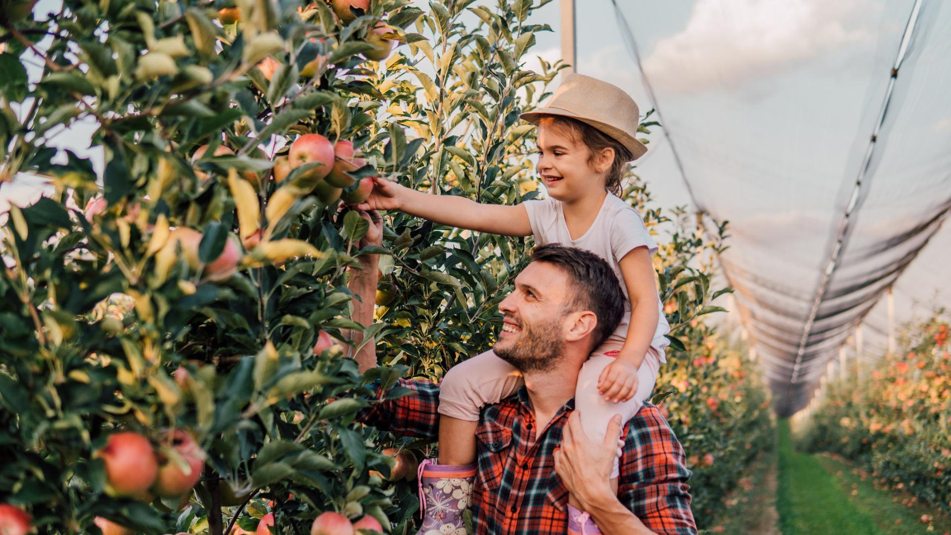 Father and Daughter Picking Apples