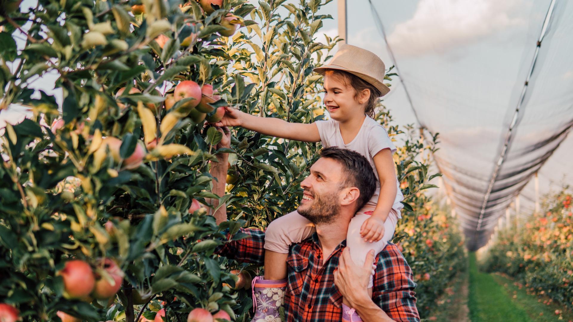Un père et sa fille cueillent des pommes