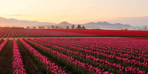Admire the beautiful tulip fields of Skagit Valley during your Washington Tour.