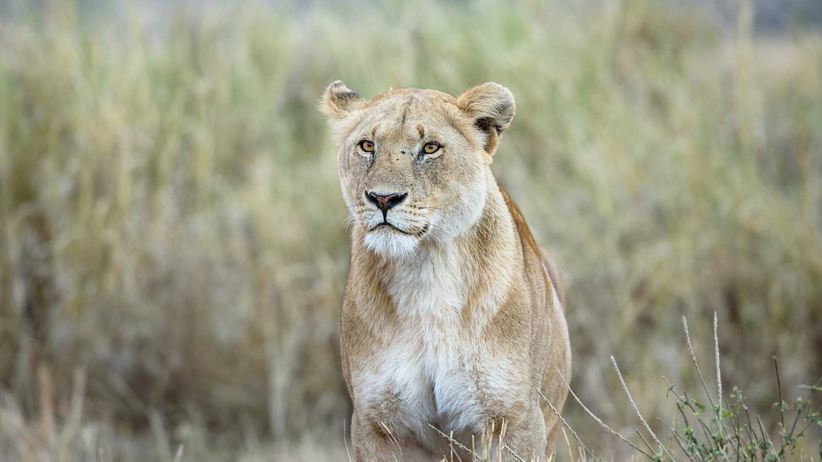 Discover beautiful lions in the Serengeti on a Tanzania safari