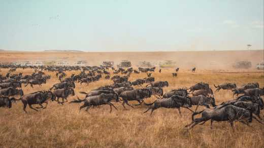 Wildebeest migrating across Africa