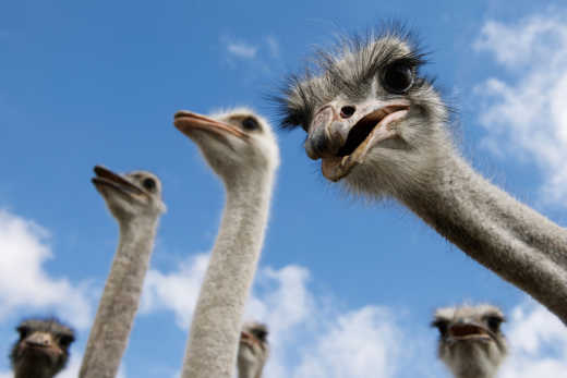 Plan your Phoenix Tour during the Ostrich Festival, one of the most popular events of Phoenix.