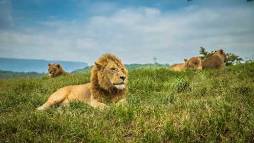 Capture a pride of lions, pictured here lounging in the green grass of the Sabi Sands Game Reserve, on an Africa Photography Safari