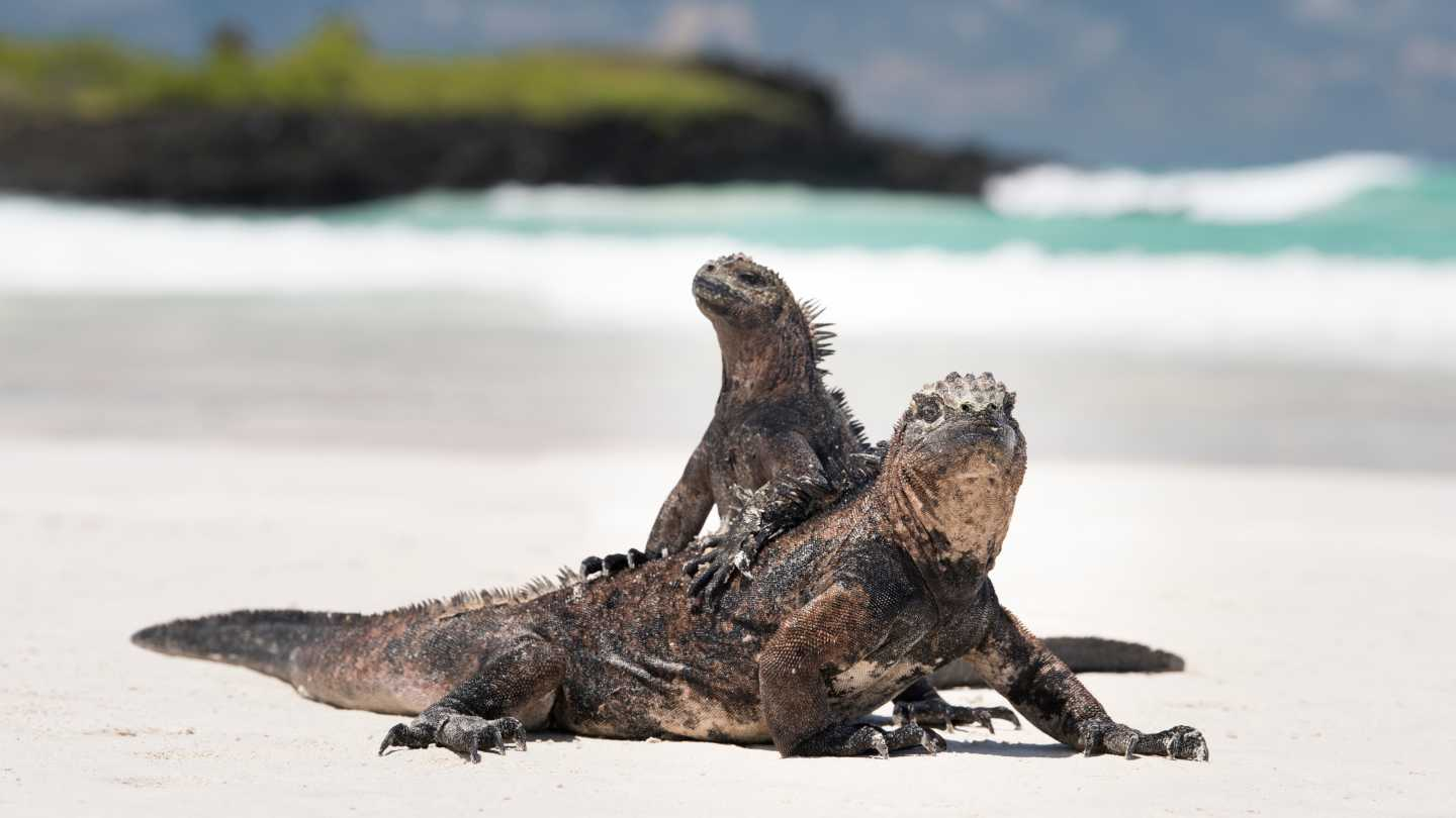 See iguanas and other creatures on a Galapagos Islands tour
