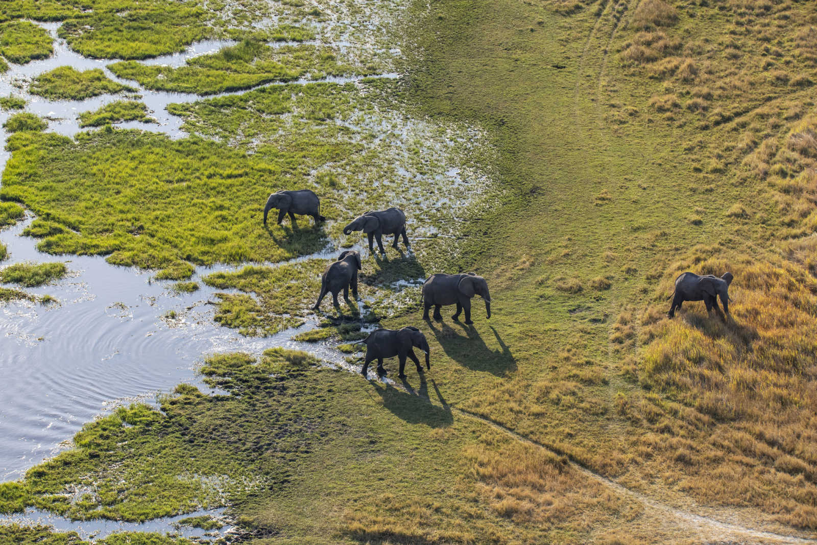 See a group of African elephants (Loxodonta africana) in Khwai river, Moremi National Park while on a Botswana safari