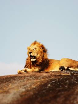 Discover lions Serengeti National Park on an African safari and tour