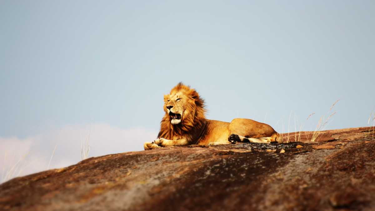 A lion in Serengeti National Park, Tanzania