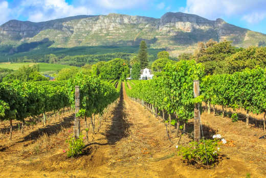 Africa , South Africa, Stellenbosch, view of a sunny green vineyard with a mountain in the background.