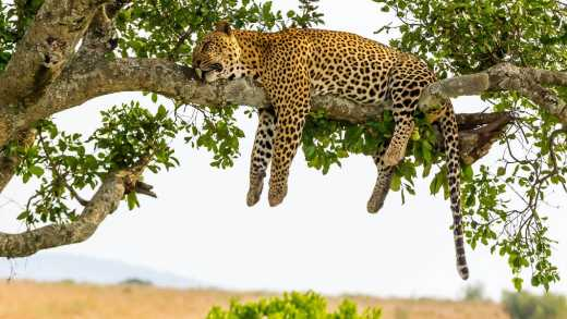 See leopards sleeping in their natural habitat on a Serengeti safari