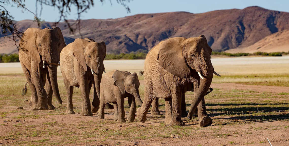 See beautiful elephants in the wild, pictured here, on a tailor-made tour of Africa