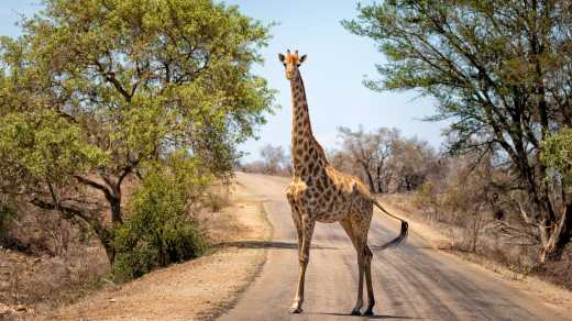 Giraffe in Kruger National Park South Africa
