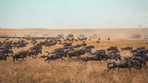 Africa, Kenya, Wildebeest Migration in the Masai Mara National Park. Dust cloud looms overhead.