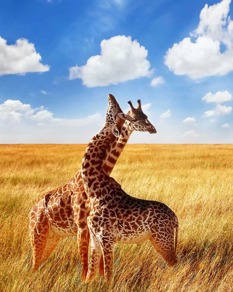 Giraffen bei Safari in Afrika