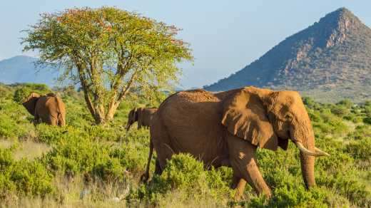 See Elephants walk in the green plains of kenya with a mountain in the background on a Masai Mara safari