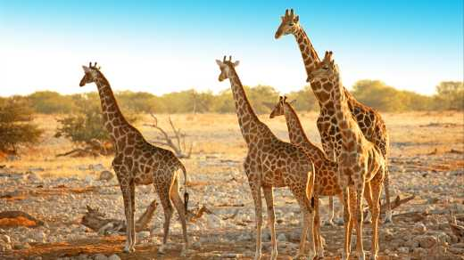 Herd of giraffes in Etosha National Park Namibia