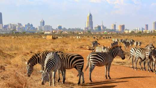 Africa, Kenya, Zebras graze in  Nairobi national park with the Nairobi skyline in the background.