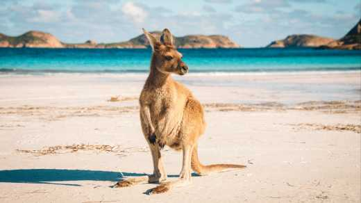 A kangaroo on the beach in Australia