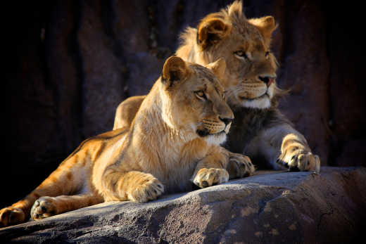 Two young African lions located in Kruger safari park