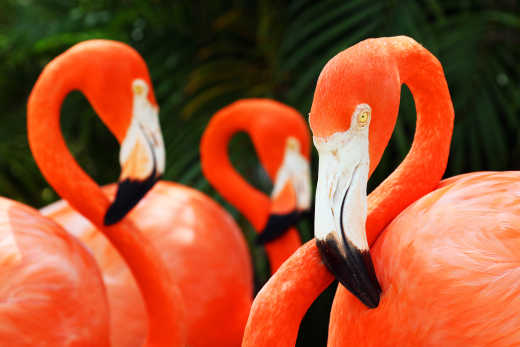 Grand Bahama Flamingo