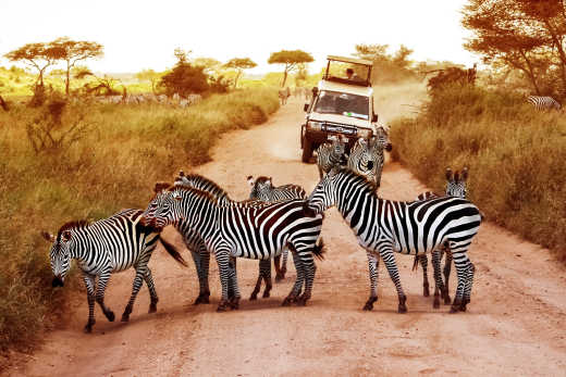 Spot zebras in the Serengeti on a safari in Tanzania and Kenya
