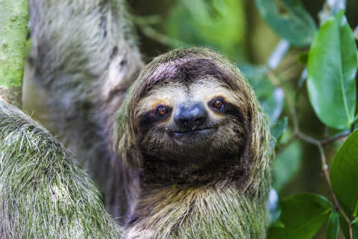 Panama City sloth in Metropolitan Natural Park