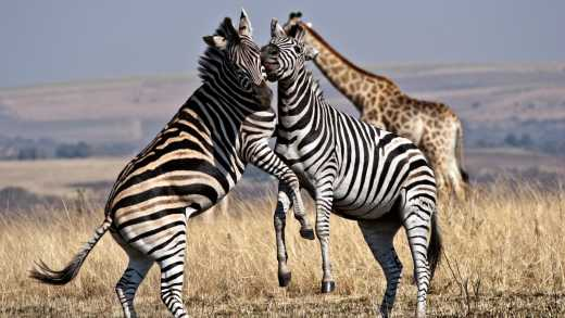 Two zebras at Hluhluwe-Umfolozi Game Reserve South Africa