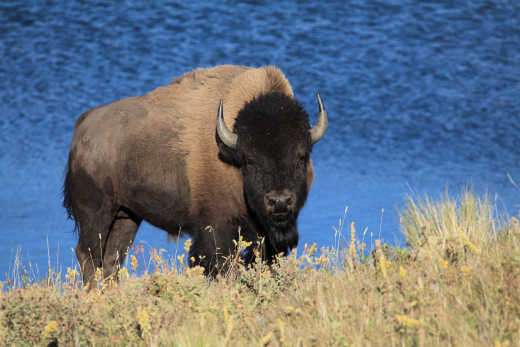 Bison in National Park