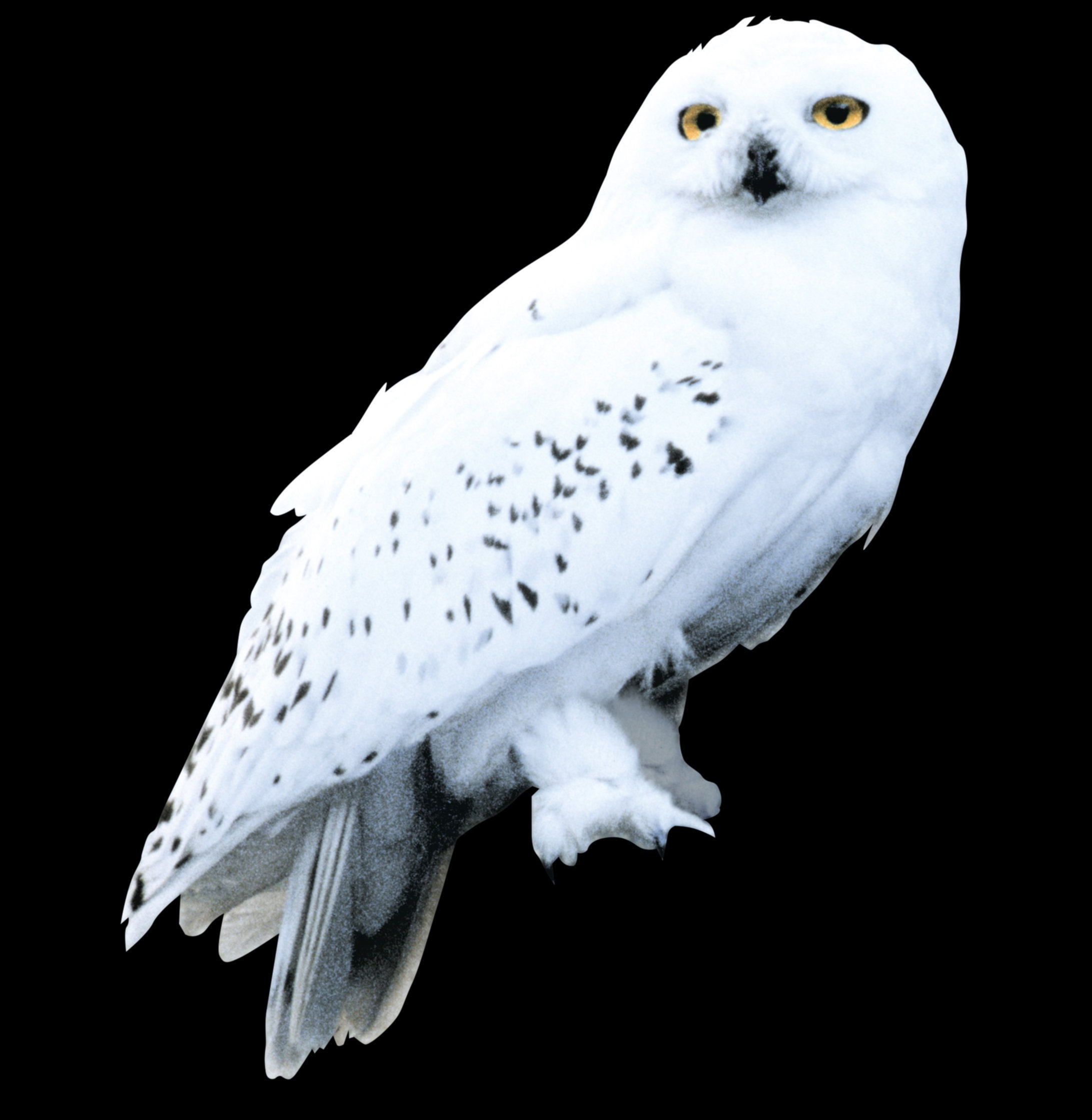 Hedwig pottermore - Harry potter chouette ...