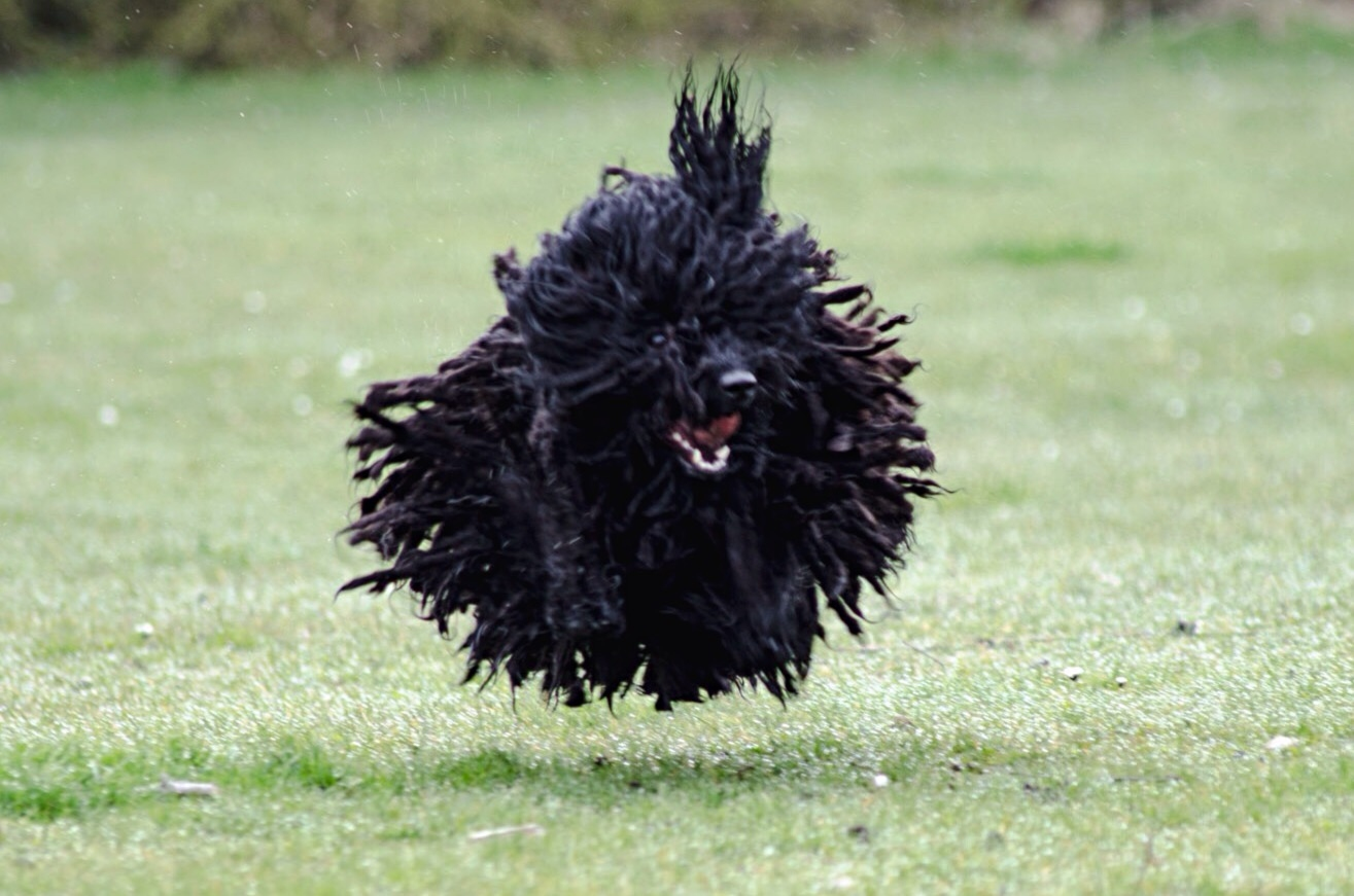 Shaggy dog in mid-air jump