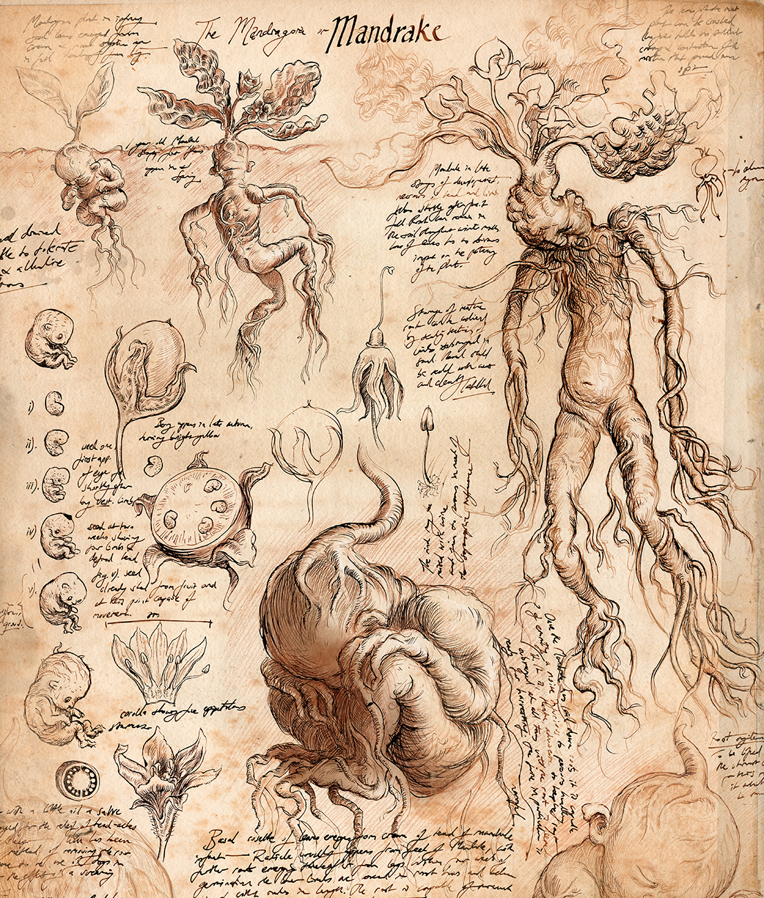 Chamber of Secrets illustrated edition mandrake Jim Kay